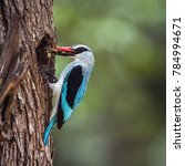 Small photo of Woodland kingfisher in Kruger national park, South Africa ; Specie Halcyon senegalensis family of Alcedinidae
