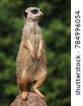 meerkat  suricata suricatta  ...