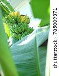 Small photo of Ripe bananas on banana tree, bananas tree with bananas, banana leaf with bananas background