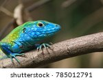 colorful green and blue lizard... | Shutterstock . vector #785012791