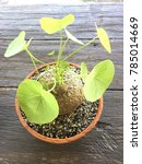 Small photo of Stephania plant in pot .Baked clay pot.