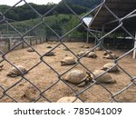 African Tortoise In Corral  As...