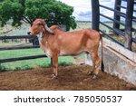 Small photo of Gir ou Gyr Cow originou-se na India. Esta raca e usada para produzir outros gado, como Brahaman nos EUA, e na melhoria da raca Red Sindhi e Sahiwal na India