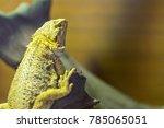 chameleon or lizard sunbathing... | Shutterstock . vector #785065051