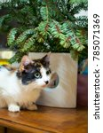 Small photo of Closeup of one small tricolor cat with green eyes and long whiskers squatting under green Cristmas tree branches in a white vase, looking in the distance