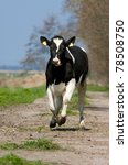 Happy Running Holstein Cow