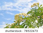 Branch of flowering wild ash on a background sky - stock photo