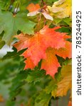 Small photo of Colorful maple leaves and winged seeds on tree. Autumnal scene with copy area. Acer platanoides