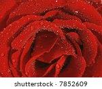 scarlett rose with water drops... | Shutterstock . vector #7852609