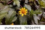 Small photo of yellow Wedelia plant