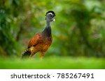 bare faced curassow  crax... | Shutterstock . vector #785267491