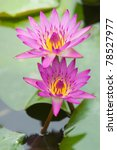 Two Mauve Lotus Flower Bloomin...
