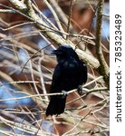 Small photo of Close up of a American Crow bird, (Corvus brachyrhynchos), perched on the branch of a bare tree.
