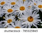 chamomile flowers with long... | Shutterstock . vector #785325865