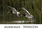 Small photo of American Oyster catcher in marsh