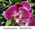 cold flower of northern thailand | Shutterstock . vector #785435749