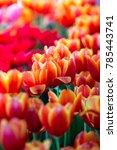 Tulips Flowers Beautiful...