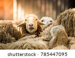 white sheep looking at the face | Shutterstock . vector #785447095