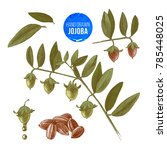 jojoba nuts  branches and... | Shutterstock .eps vector #785448025