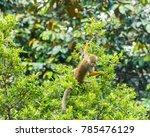 squirrel monkeys  saimiri... | Shutterstock . vector #785476129