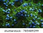 beautiful bush of a juniper... | Shutterstock . vector #785489299