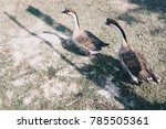 two gooses have long neck in... | Shutterstock . vector #785505361