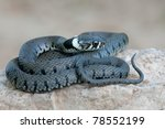 Macro Of A Grass Snake In The...