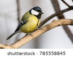 the great tit  parus major  is... | Shutterstock . vector #785558845
