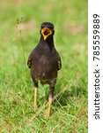 Small photo of Indian Myna (Acridotheres tristis) bird standing in grass
