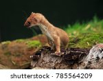 the stoat  also known as the... | Shutterstock . vector #785564209