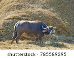 a buffalo eating dry straw.... | Shutterstock . vector #785589295