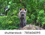 hyena standing on stone | Shutterstock . vector #785606095