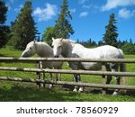 Beautiful white horses standing in their country paddock on a hot summers day - stock photo