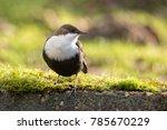 white throated dipper in... | Shutterstock . vector #785670229