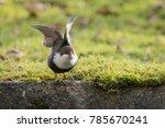 white throated dipper in... | Shutterstock . vector #785670241