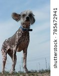 chinese crested dog hairless in ... | Shutterstock . vector #785672941