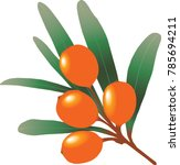 Sea Buckthorn Branch With...