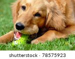 Stock photo golden retriever young dog portrait with toy bone 78575923