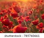 Beautiful Blooming Poppies In...