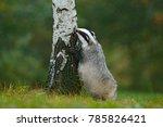 wild badger  meles meles ... | Shutterstock . vector #785826421