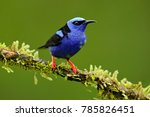 red legged honeycreeper ... | Shutterstock . vector #785826451