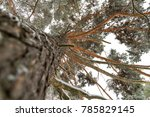 tree crown of pine tree in the... | Shutterstock . vector #785829145
