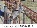Giraffe  The Tallest Mammal ...