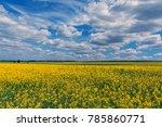 Yellow Oil Rape Seeds In Bloom...