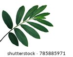 green leaves of red ginger ... | Shutterstock . vector #785885971