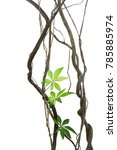 twisted jungle vines with... | Shutterstock . vector #785885974