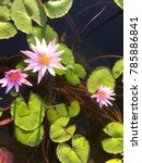 Three Water Lily And Water Lil...