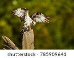 Wild Osprey  Pandion Haliaetus...