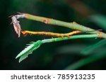Small photo of Owlet, prominent, geometrid moth caterpillar, looper, inchworm (Arthropoda: Hexapoda: Pterygota: Lepidoptera: Notodontidae: Geometridae: Gargetta Curvaria) mimicking, pretend as a twig with two tails