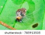 Small photo of Blurry and soft female Mangrove jumping spider (Arthropoda: Arachnida: Araneae: Salticidae: Marpissinae: Ligurra Latidens) eating white black orange hairy caterpillar as the food on a green leaf